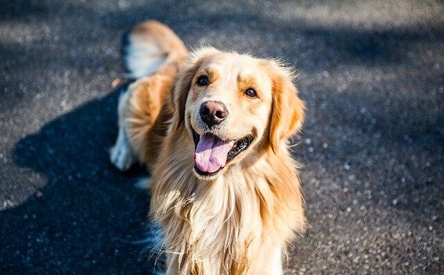 Pies Golden Retriever