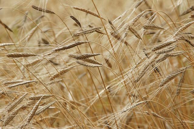 szczere pole pszenicy