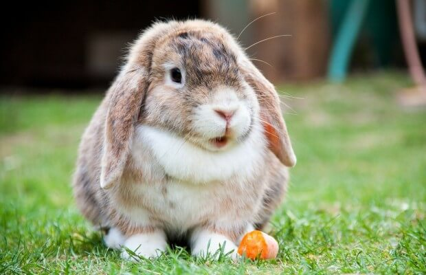 królik na łące