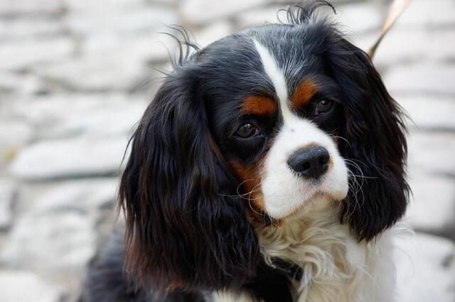 Pies Cavalier King Charles Spaniel