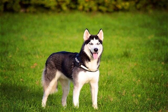 Pies husky na trawie