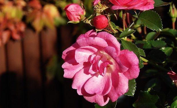 Róża pięknie rozkwita na słońcu